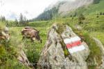 Der Wanderweg führt direkt durch Kuhgebiet.