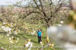 Durch Baumblüten wandeln bei Mössingen