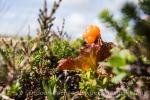 Seltene Beeren - Moltebeeren im Fjäll