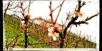 Schloss Eberstein hinter den ersten Baumblüten