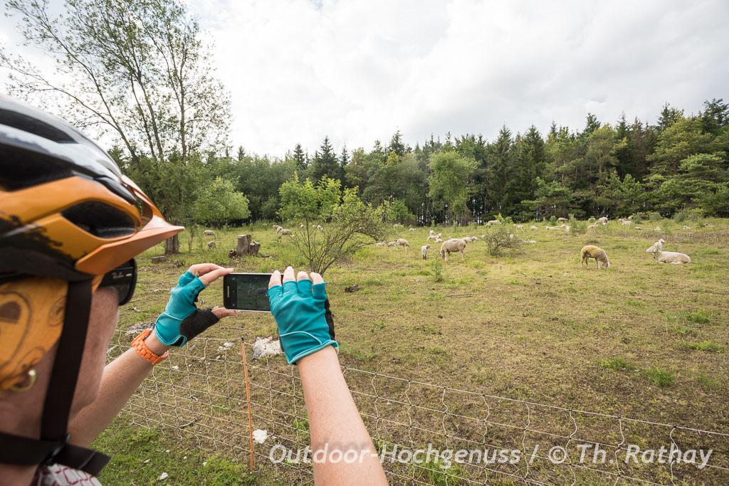 Schäflein grasen friedlich entlang der Tour von Nördlingen zum Steinheimer Becken
