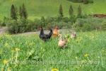 Hühnerschar ...