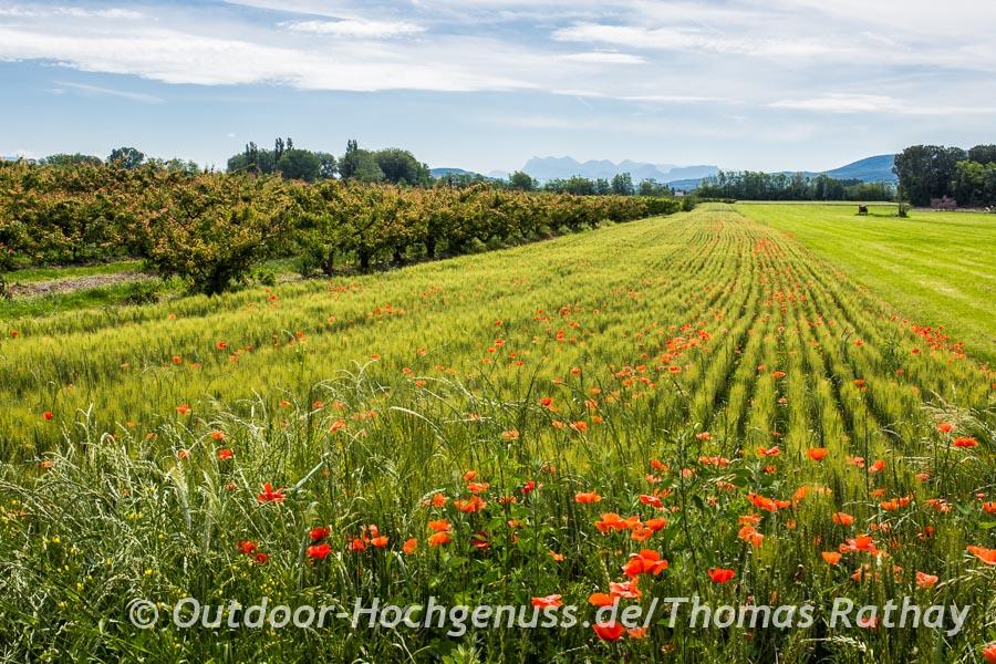 Mohnfelder statt im Mai entlang der Strecke