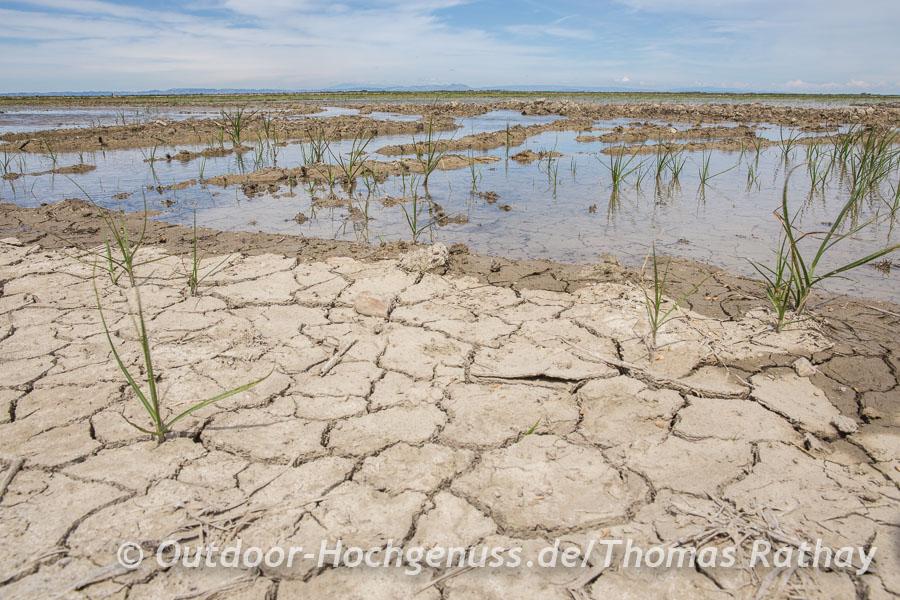 Eindrücke, die uns an Wüstenlandschaften erinnern, die Reisfelder in der Camarque