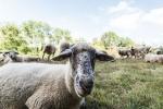 Schafe auf dem Wiiwegli