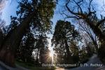 Metasequoias