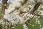 In den Streuobstwiesen des *Obstparadieses* in Staufen im Breisgau