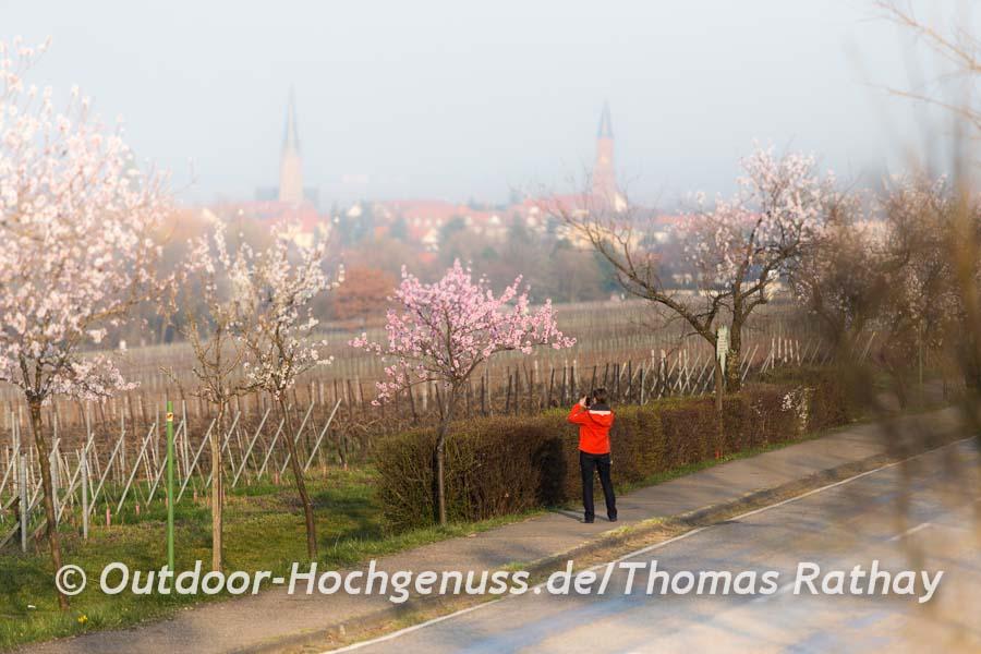 Mandelblüten-Alleen säumen im März die Pfalz.