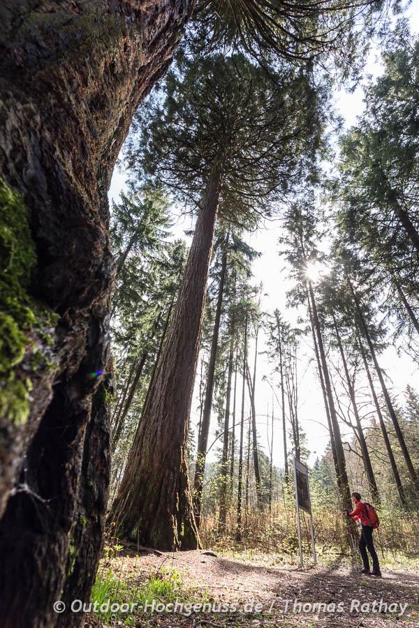 Wilhema-Saat der Mammutbäume