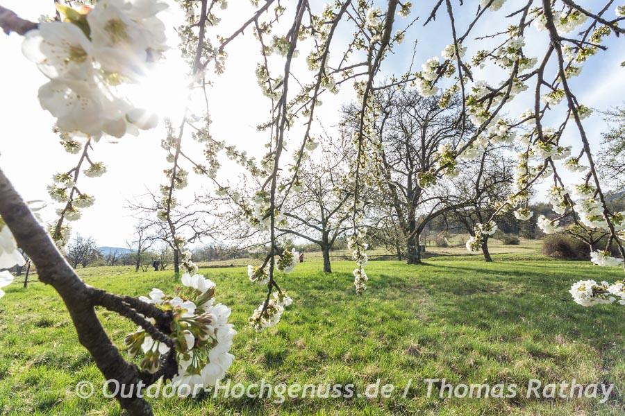 Obstbaumblüte am Früchtetrauf