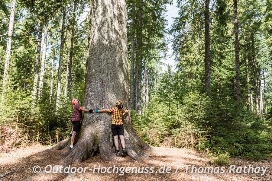 Großvatertanne im Schwarzwald
