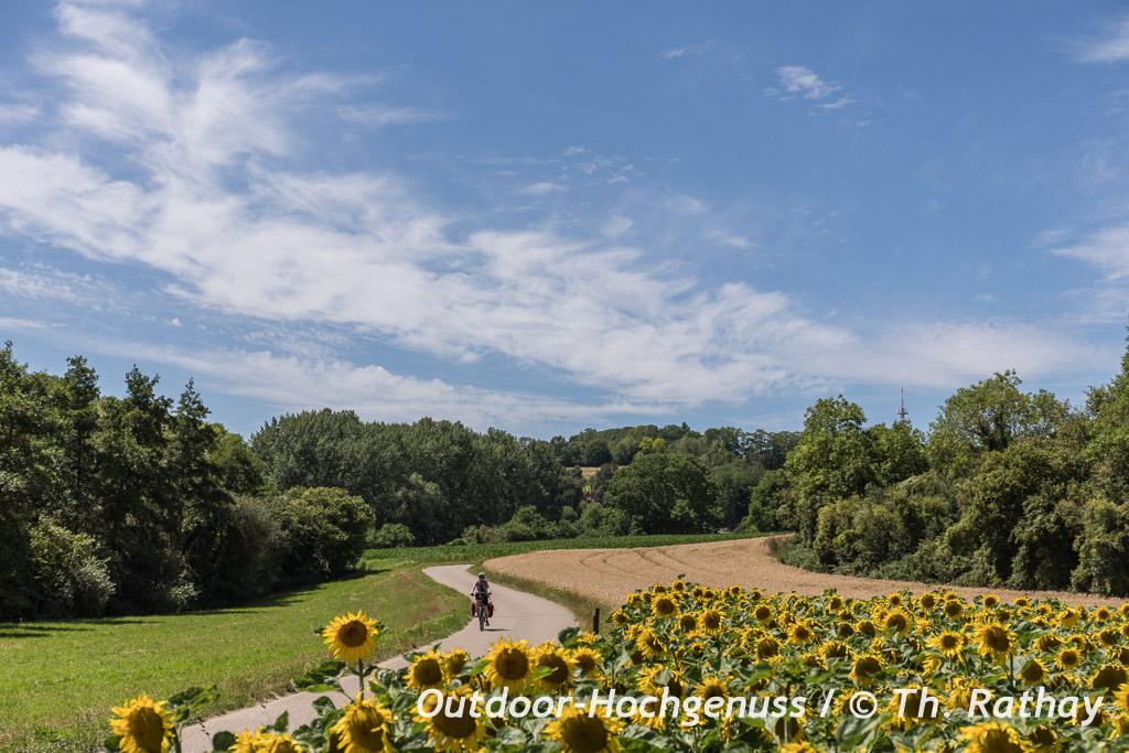Sonnenblumen auf dem Badischen Weinradweg