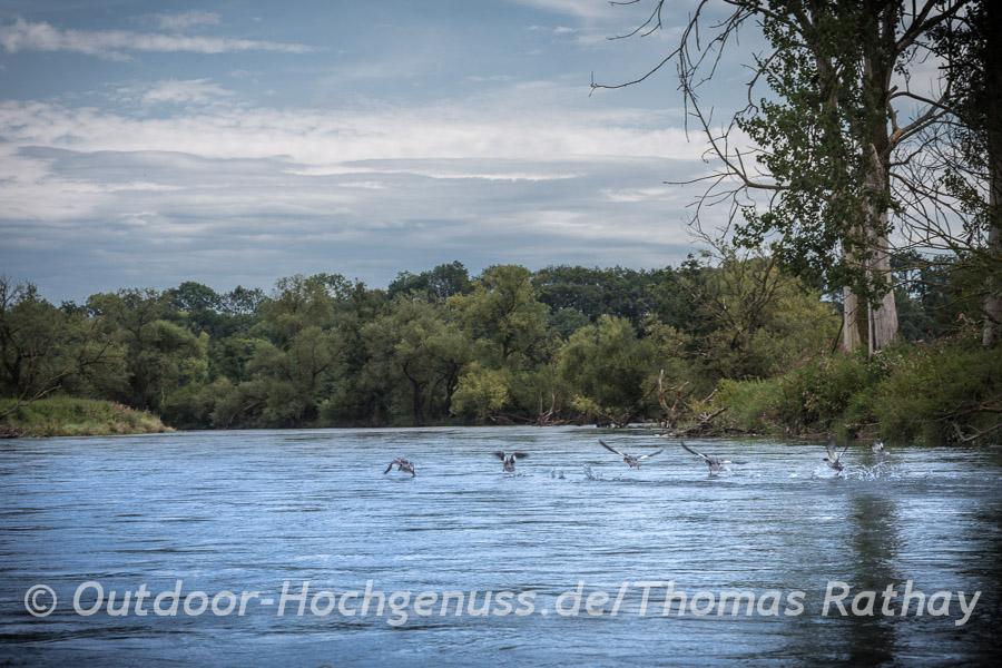 Enten auf der Donau