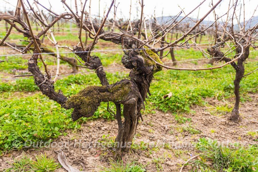 Der älteste Weinberg der Welt.
