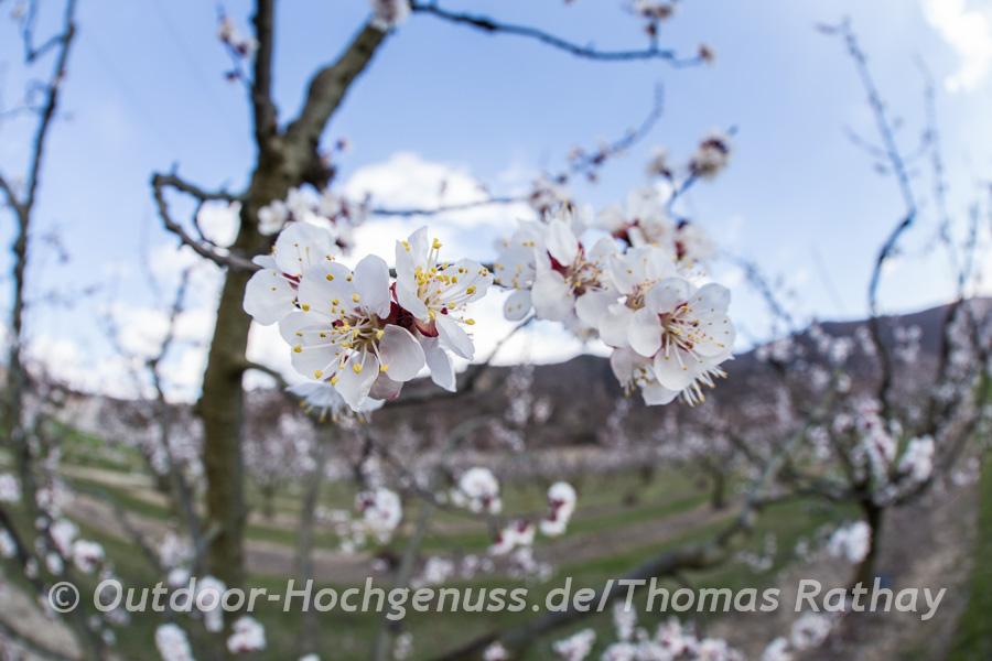 Obstblüte am Ufer der Durance *La Durance* und des Canal E.D.F.