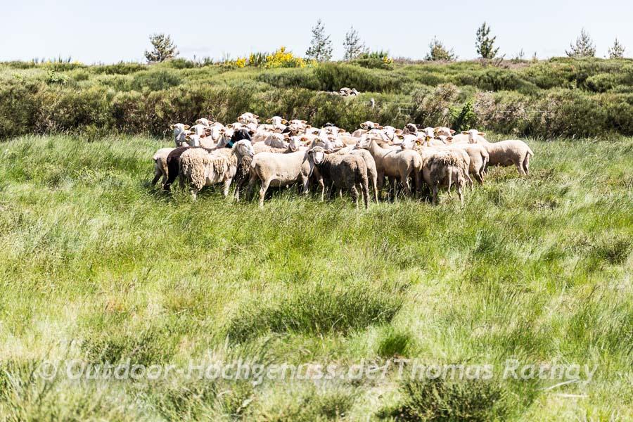 Schafskrimi