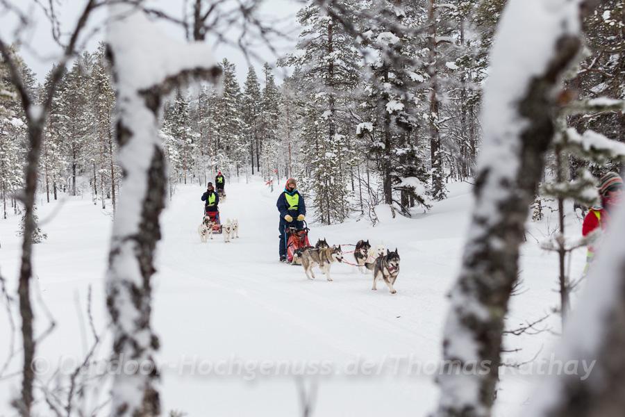 Huskies im schwedischen Wald