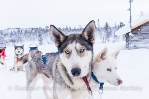 Husky-Tour-Genuss